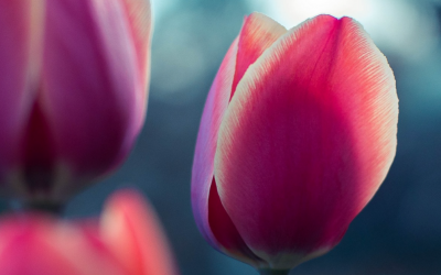 Mirror Mirror on the wall – what a bunch of tulips taught me about trust